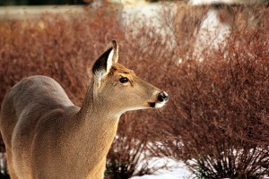 Deer 061 copy